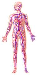 Human circolatory system cross section