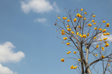 Also known as Yellow Cotton Tree or Mart&Schrank