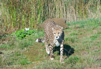 Wall Mural - Cheetah (A. Jubatus) walks