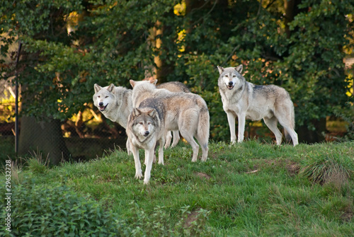 Wall mural Wolf (C. Lupus) pack