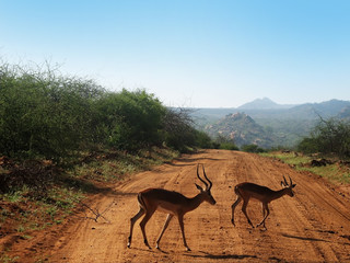 Two antelopes crossing road