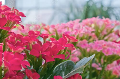 Fiori invernali ornamentali immagini e fotografie for Fiori ornamentali