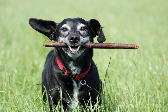 Alter Hund mit Stock