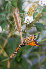 Upside Down Praying Mantis Eats Monarch Butterfly