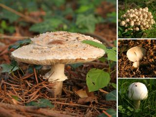 composition, champignons