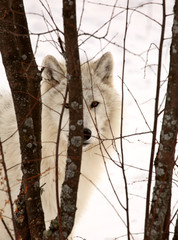 Arctic Wolf looking between some small trees