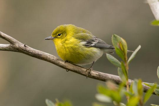 Vibrant yellow warbler bird sitting on tree limb