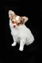 Little chihuahua puppy