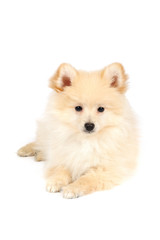 champagne colored pomeranian spitz