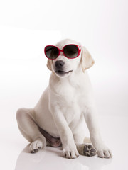 Puppy with sunglasses