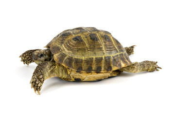 green turtle walking over a white background