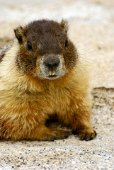 Yellow-Bellied Marmot in Yosemite, CA