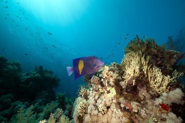 Yellowbar angelfish and sun in the Red Sea.