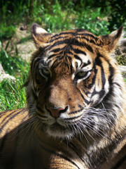Asian Tiger resting