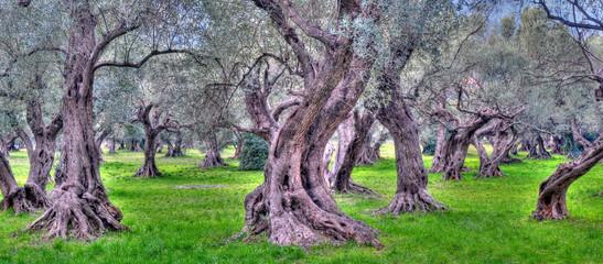 Photo sur Plexiglas Oliviers oliviers de provence