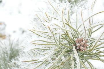 drzewo iglaste zimą - fototapety na wymiar