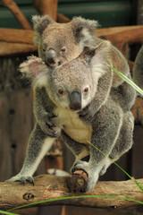 Koala mom with joey on her back