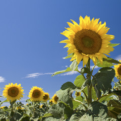 sunflower with blue summer sky