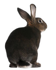 Fototapete - Castor Rex rabbit in front of white background