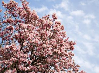 Saucer Magnolia Tree in Bloom