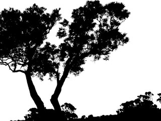 silhouette d'arbres, Acacia heterophylla