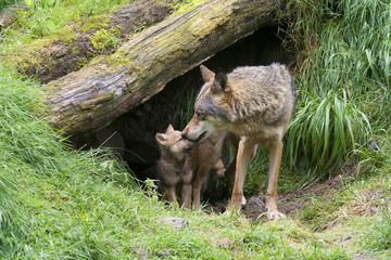 Wölfin mit ihren Welpen