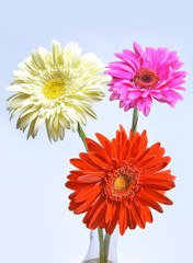 Three bright flowers. Gerbera.