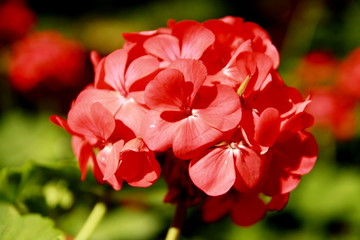 Red flower bloom with green background