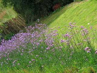 Purple lavender field with green grass