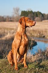 Vizsla Dog Sitting in a Field