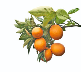 A branch with ripe oranges
