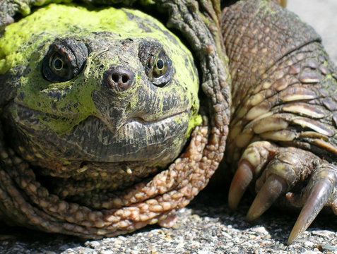 Chelydra serpentina (Common Snapping Turtle)