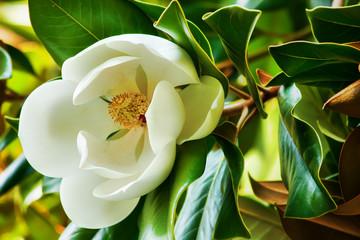 White flower of a magnolia close up