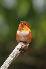 Fototapete - Rufous Hummingbird (Selasphorus rufus)