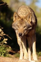 Acrylic Prints Wolf Lobo Iberico I