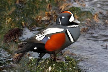 Fotoväggar - Harlequin Duck