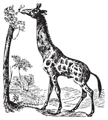 An old giraffe engraving illustration