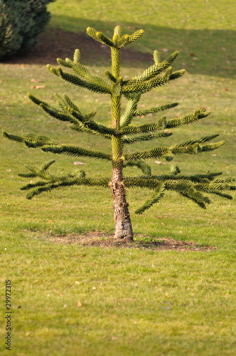 araucaria ou pin du chili photo libre de droits sur la
