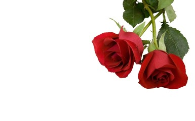 две розы на белом фоне