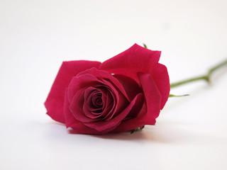 Rote Rose liegend