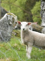 Tuinposter Schapen lamb in nature closeup