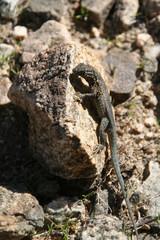 Lizard, Joshua Tree National Park, California