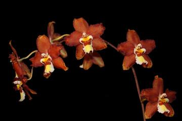 Brown cymbidium Orchid
