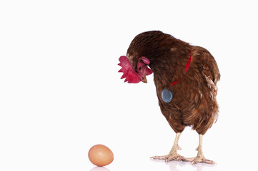 Chicken turns his back and look at their eggs on a white backgro