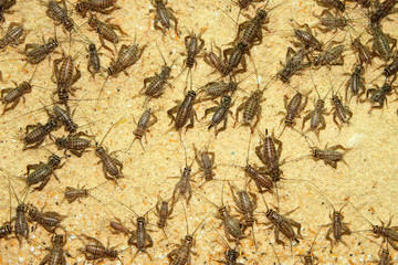 Crickets in farm