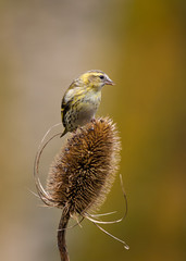 Siskin on Teasle