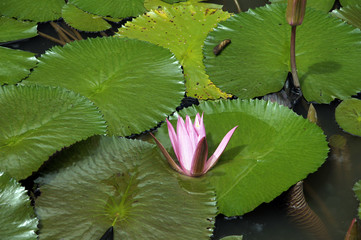 Lotus. Water lily of Borneo.