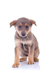 stray brown puppy
