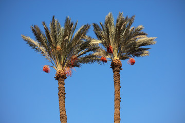Date-palm trees