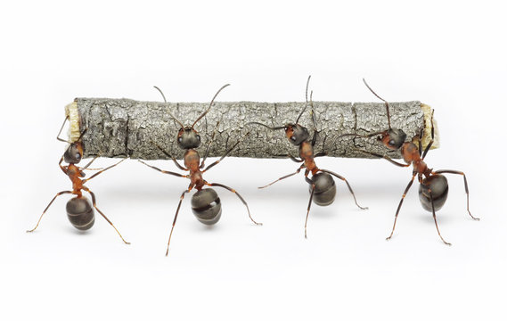 team of ants work with log, cooperation and teamwork